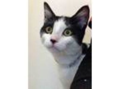 Adopt Pixie a White (Mostly) Domestic Shorthair (short coat) cat in Plainfield