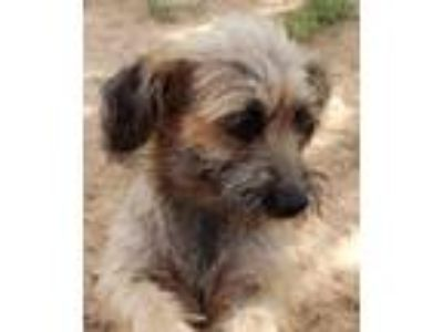 Adopt Sally a Tan/Yellow/Fawn - with Black Terrier (Unknown Type