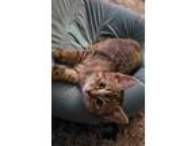 Adopt Cadence a Gray or Blue Domestic Shorthair / Domestic Shorthair / Mixed cat