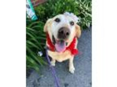 Adopt CRYSTAL - Rescue, Foster or Foster to Adopt a Labrador Retriever