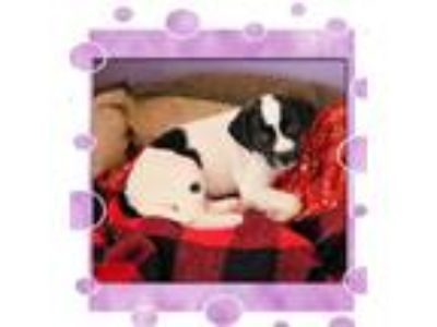 Adopt Bonnie a Rat Terrier, Pointer