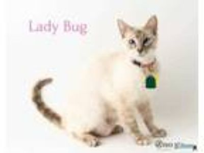 Adopt Lady Bug a Cream or Ivory Siamese / Domestic Shorthair / Mixed cat in