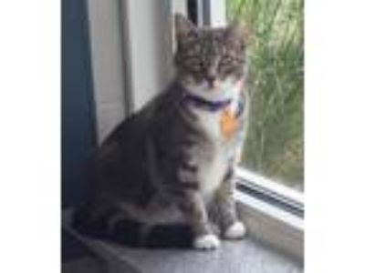 Adopt Eurale a Domestic Shorthair / Mixed cat in Madison, NJ (25535752)