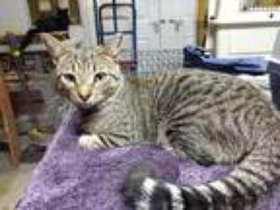 Adopt Jesse James a Brown Tabby Domestic Shorthair (short coat) cat in