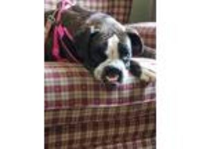 Adopt Ethel a Black - with White Boxer / Mixed dog in Sinking Spring
