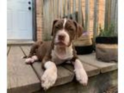 Adopt Gilly a Brown/Chocolate - with White American Pit Bull Terrier / Mixed