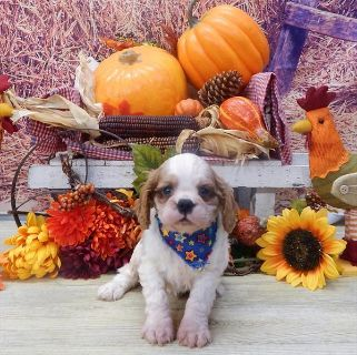 Cavalier King Charles Spaniel PUPPY FOR SALE ADN-104846 - Cavalier King Charles Spaniel Puppy