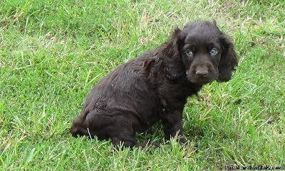 Boykin Spaniel Puppies for Sale