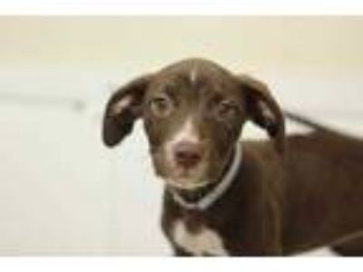 Adopt 42019200 a Brown/Chocolate American Pit Bull Terrier / Mixed dog in Bryan