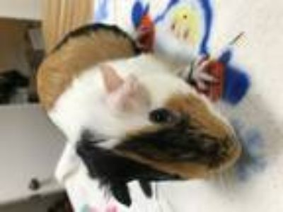 Adopt warhead a Multi Guinea Pig (short coat) small animal in Sunrise