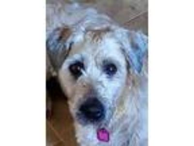 Adopt Alina a Brown/Chocolate Wheaten Terrier / Mixed dog in Prole