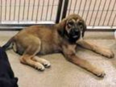 Adopt Rose A162326 a German Shepherd Dog, Bloodhound
