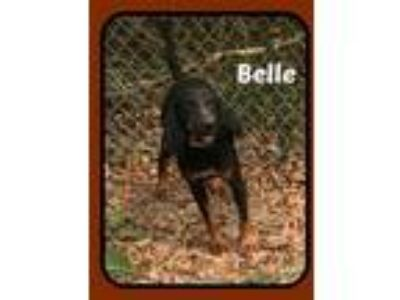 Adopt BELLE a Black - with Tan, Yellow or Fawn Black and Tan Coonhound / Beagle