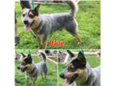 Adopt Blue a Black - with Gray or Silver Australian Cattle Dog / Mixed dog in