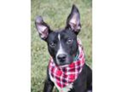 Adopt Lumiere a Black - with White Rat Terrier / Pit Bull Terrier / Mixed dog in