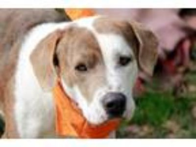 Adopt 190217 Chase a Brindle - with White Basset Hound / American Pit Bull