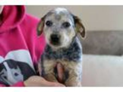 Adopt Ringo a Australian Cattle Dog / Blue Heeler