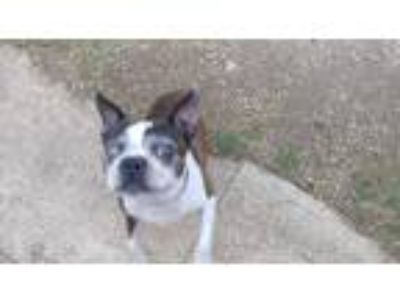 Adopt Buster a Brindle - with White Boston Terrier / Mixed dog in Weatherford
