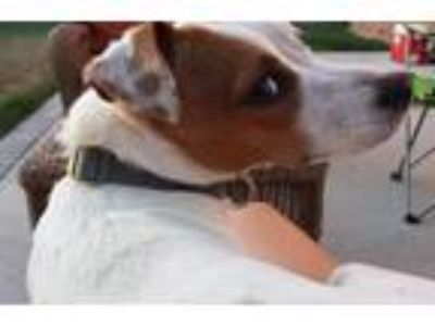 Adopt Olive (San Diego) a White - with Brown or Chocolate Jack Russell Terrier /