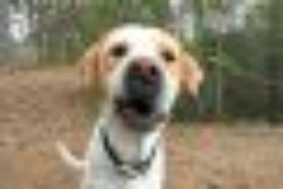 Waldo Labrador Retriever - Mastiff Dog
