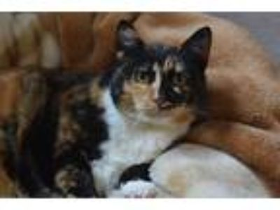 Adopt Monica a Tortoiseshell Domestic Shorthair (short coat) cat in Coronado