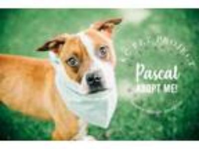 Adopt Pascal a Brown/Chocolate American Pit Bull Terrier / Mixed dog in Kansas