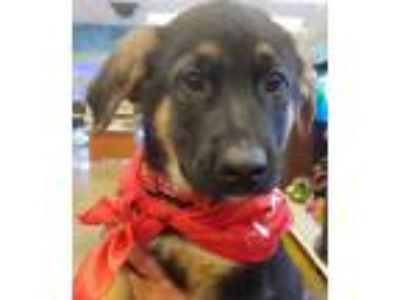 Adopt Bisell a Tricolor (Tan/Brown & Black & White) German Shepherd Dog /