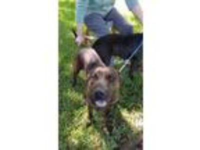 Adopt BIZZIE a Brindle American Pit Bull Terrier / Mixed dog in Pearland