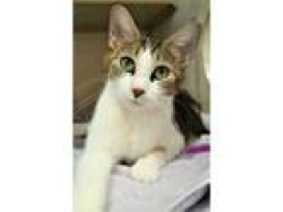 Adopt Snapcat a Domestic Short Hair