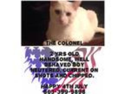 Adopt The Colonel a White Domestic Shorthair (short coat) cat in Zolfo Springs