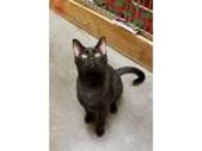 Adopt BELTZA a Domestic Short Hair