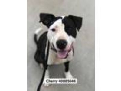 Adopt 40885646 a Black American Staffordshire Terrier / Mixed dog in Fort Worth