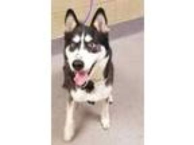 Adopt Harley a Gray/Blue/Silver/Salt & Pepper Husky / Mixed dog in Cleveland