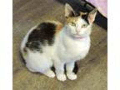 Adopt Winky a Calico or Dilute Calico Domestic Shorthair (short coat) cat in
