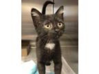 Adopt Magnolia a All Black Domestic Shorthair / Mixed (medium coat) cat in