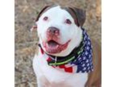 Adopt Lincoln a White American Pit Bull Terrier / Mixed dog in Atlanta