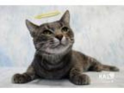 Adopt Shark Bait a Domestic Short Hair