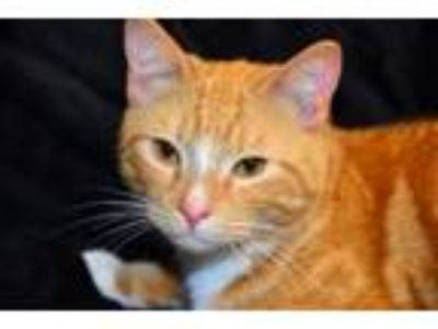 Adopt Matt a Tabby, Domestic Short Hair