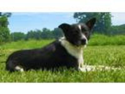 Adopt Tiny Tim a Black - with White Border Collie / Cattle Dog / Mixed dog in