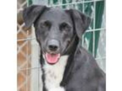 Adopt Disa a Black - with White Collie / Retriever (Unknown Type) / Mixed dog in