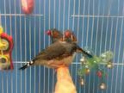Adopt Gryffindor a Gray Finch / Mixed bird in Coon Rapids, MN (25316845)