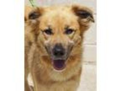 Adopt Monroe a Tan/Yellow/Fawn Mixed Breed (Large) / Mixed dog in Wellsville