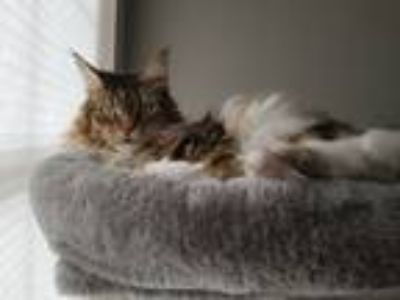 Adopt Samantha a Brown Tabby Maine Coon cat in Murrieta, CA (25517679)