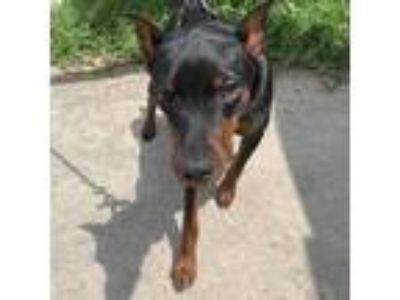 Adopt NINO a Black - with Tan, Yellow or Fawn Miniature Pinscher / Mixed dog in