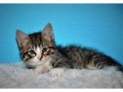 Adopt Hazelnut a Domestic Short Hair