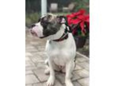 Adopt Lola a White - with Gray or Silver Boxer / American Pit Bull Terrier /