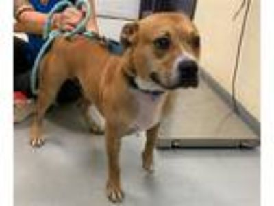 Adopt Chance a American Pit Bull Terrier / Mixed dog in Charlottesville