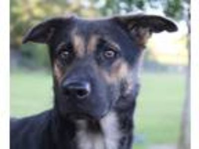 Adopt Summer a Black - with Tan, Yellow or Fawn Shepherd (Unknown Type) / Mixed