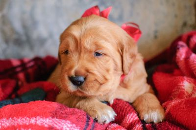 Golden Retriever PUPPY FOR SALE ADN-109569 - Dark Red AKC Golden Retriever Male
