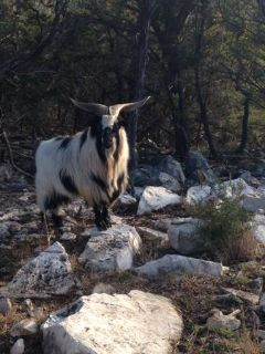 Myotonic (fainting goats) FOR SALE (Canyon Lake)